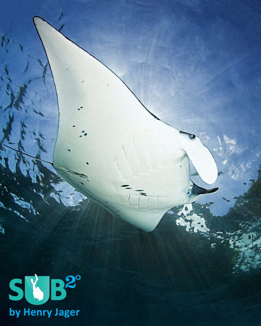 Diving with Mantas is one of the most exciting dives you can experience.