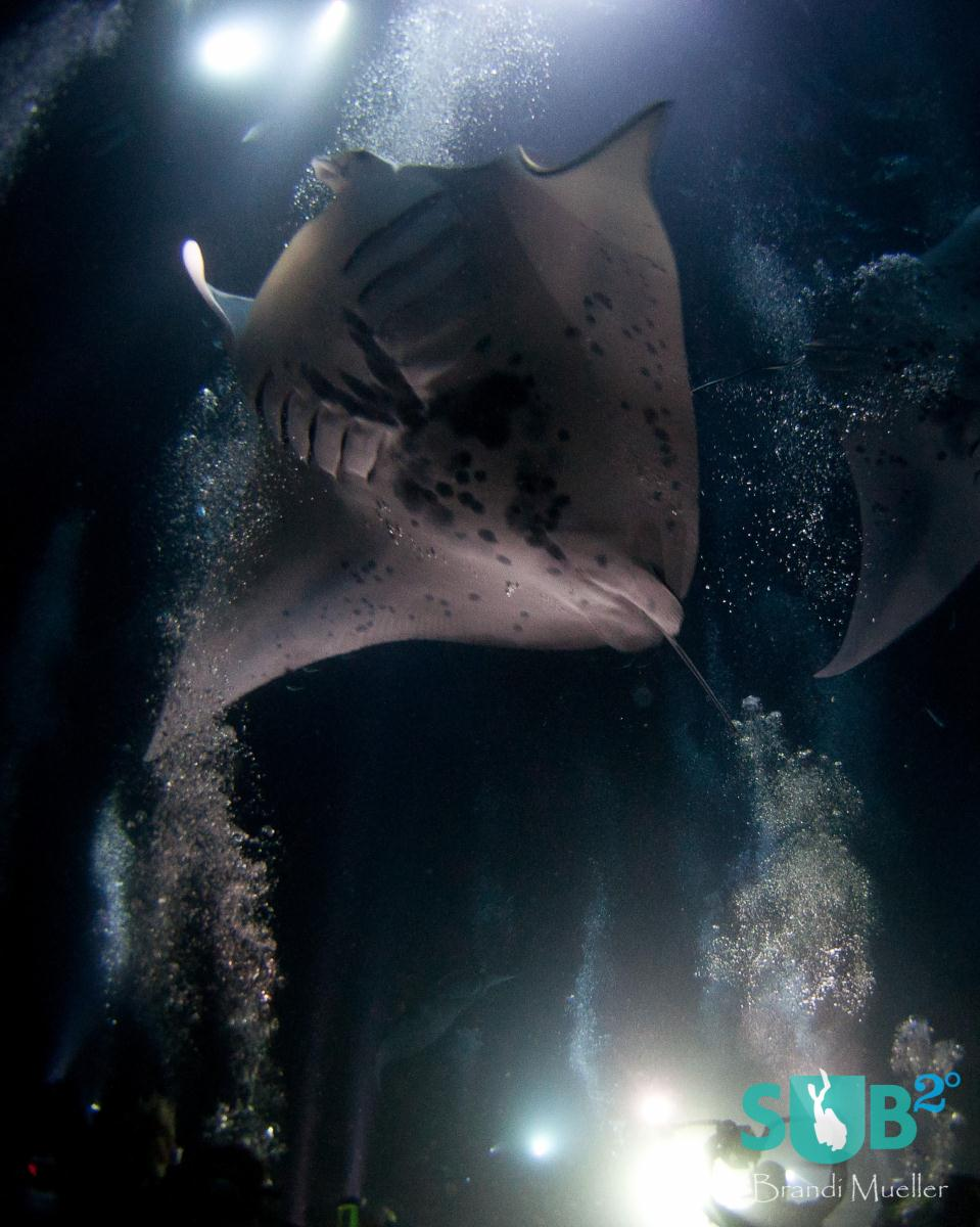 While feeding the mantas do large rolls or circles coming in to get as much plankton as they can and then circling back towards the surface and coming back down again for more food.