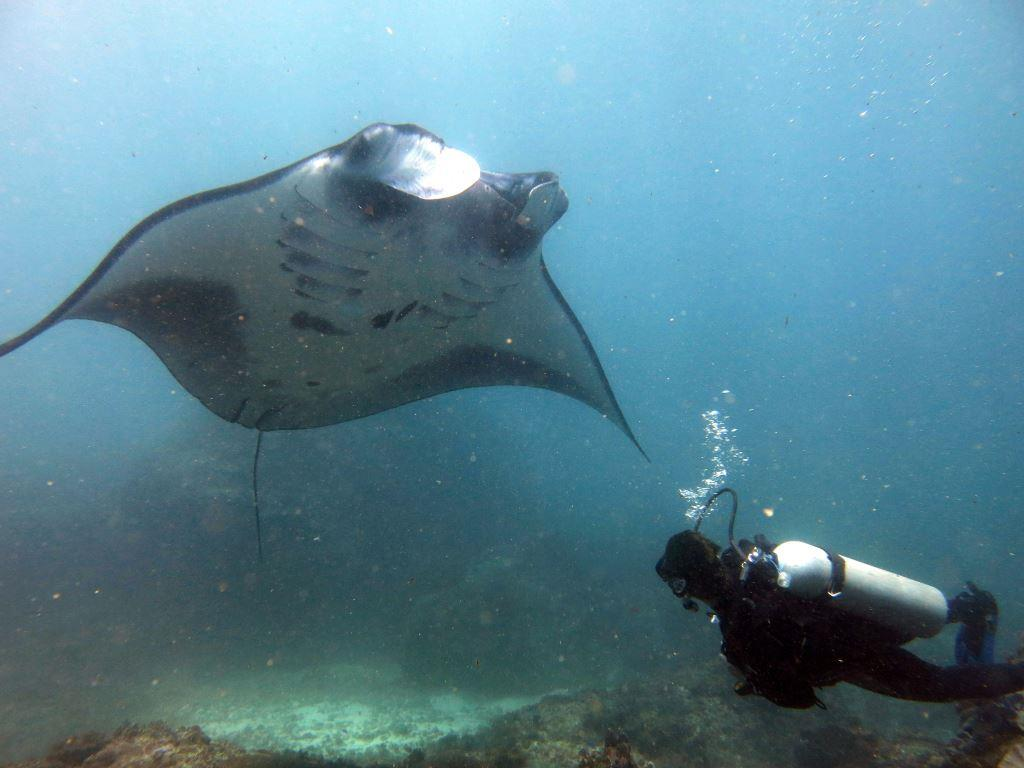 Manta Rays all year round