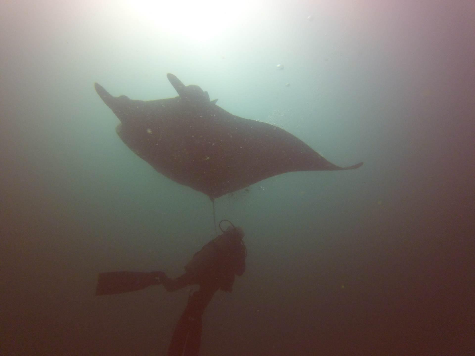 Manta with Diver