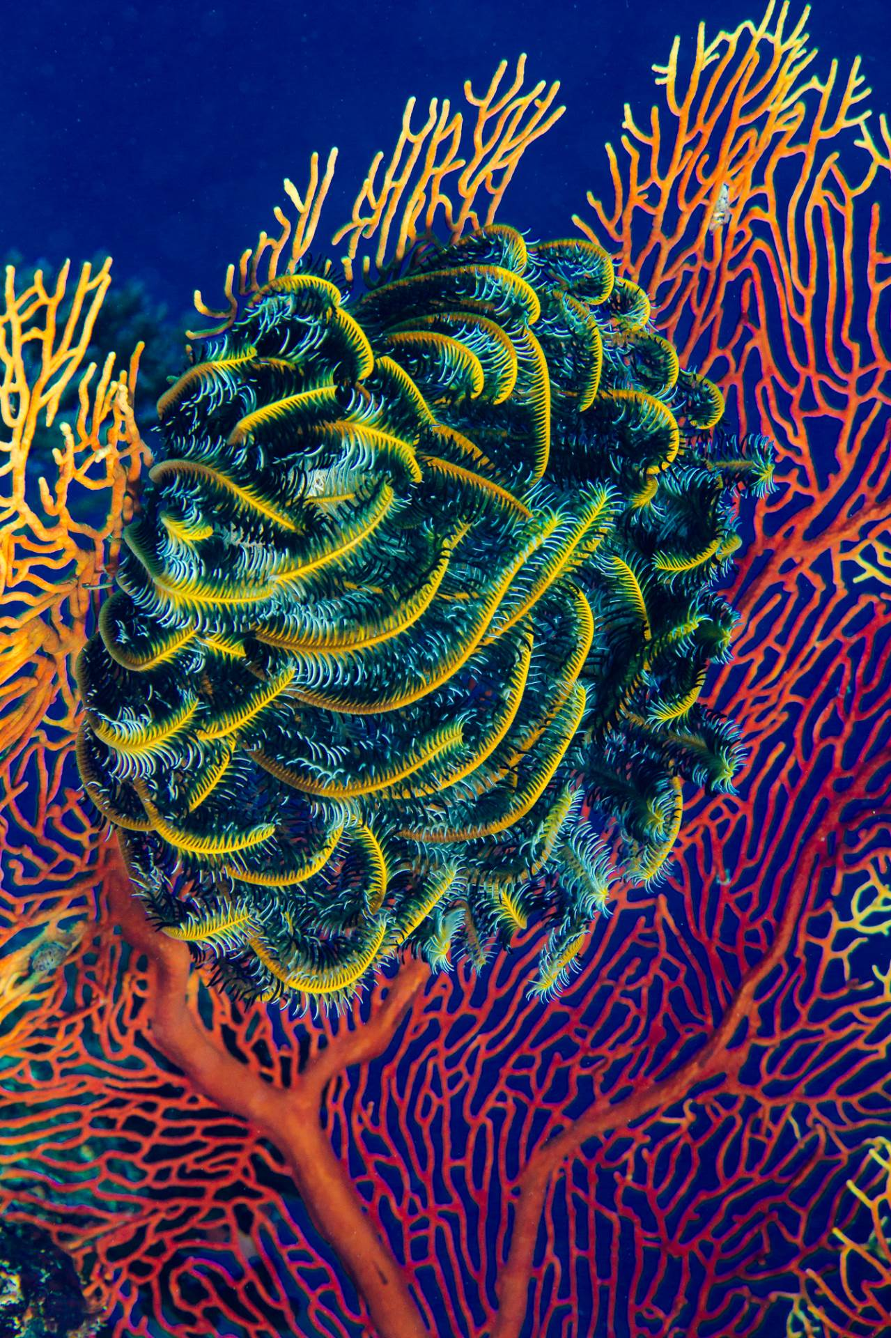Feather Star on Gorgonian Fan