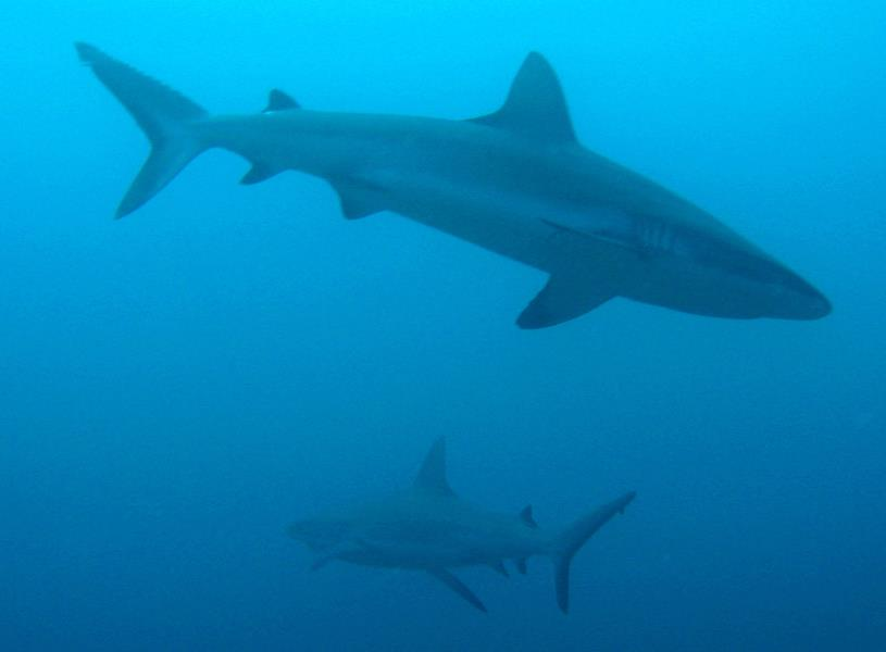 Matava Grey Reef Sharks
