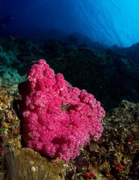 Matava Purple Soft Corals