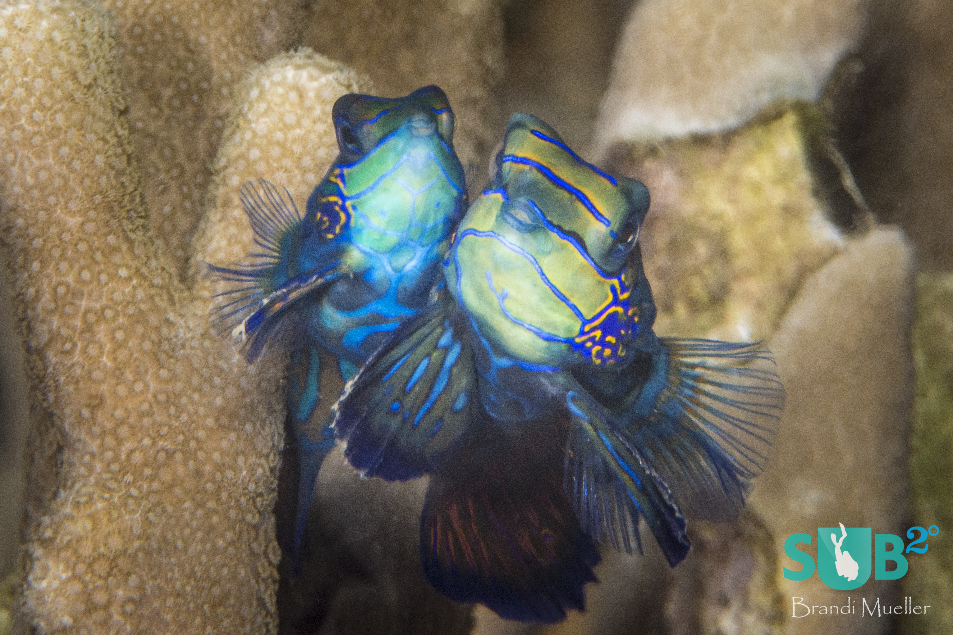 Just before the sun sets, mandarinfish rise out of the reef, cheek-to-cheek, to mate.
