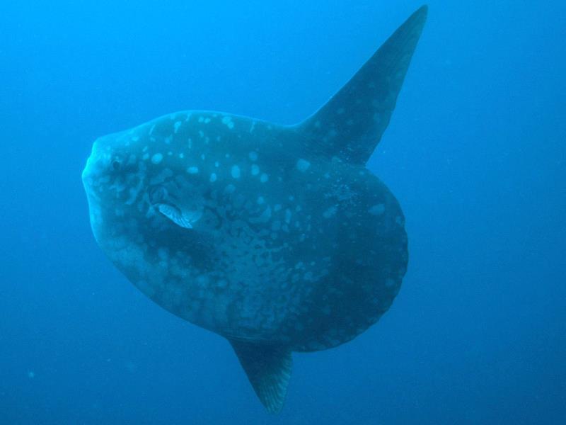 Mola Mola