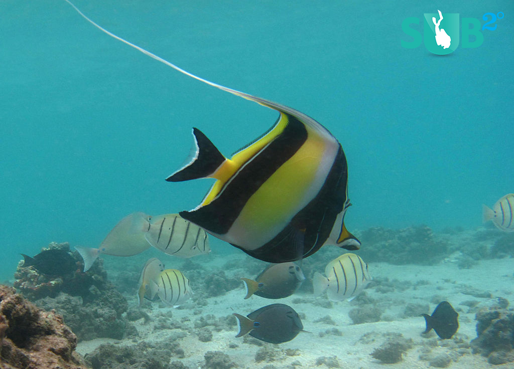 Pictured in every pet store mural, dive shop pamphlet, and underwater photographer's portfolio, the Moorish idol (Zanclus cornutus) lives not only on coral reefs throughout the Indo-Pacific, but also in the reef of our collective conscience.