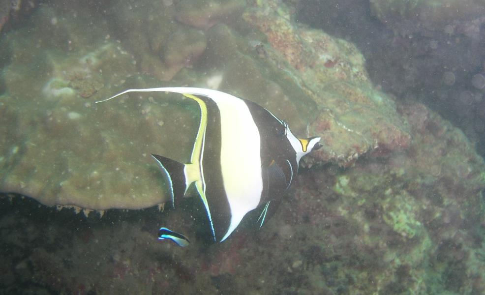 Moorish Idol at Ao Sane