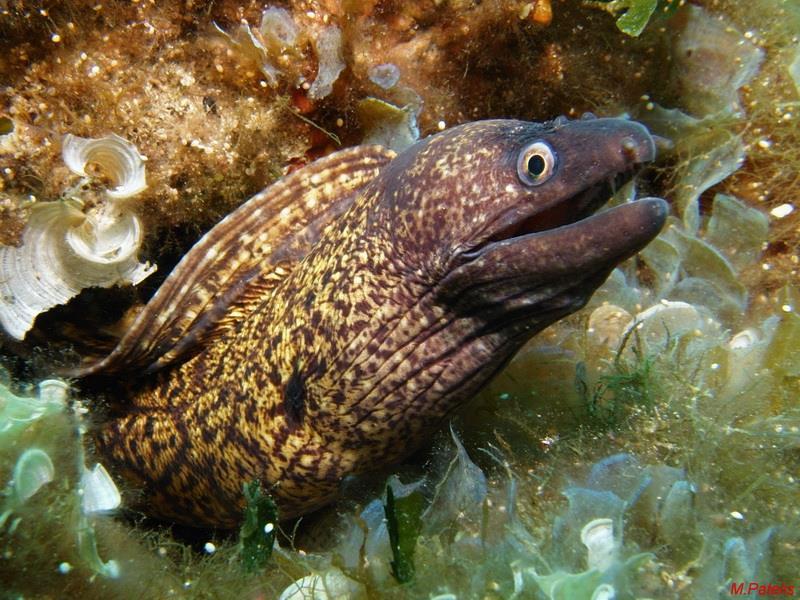 Moray eel_03