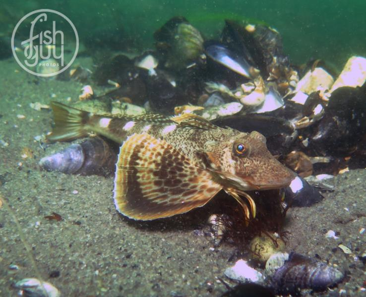 Northern sea robin