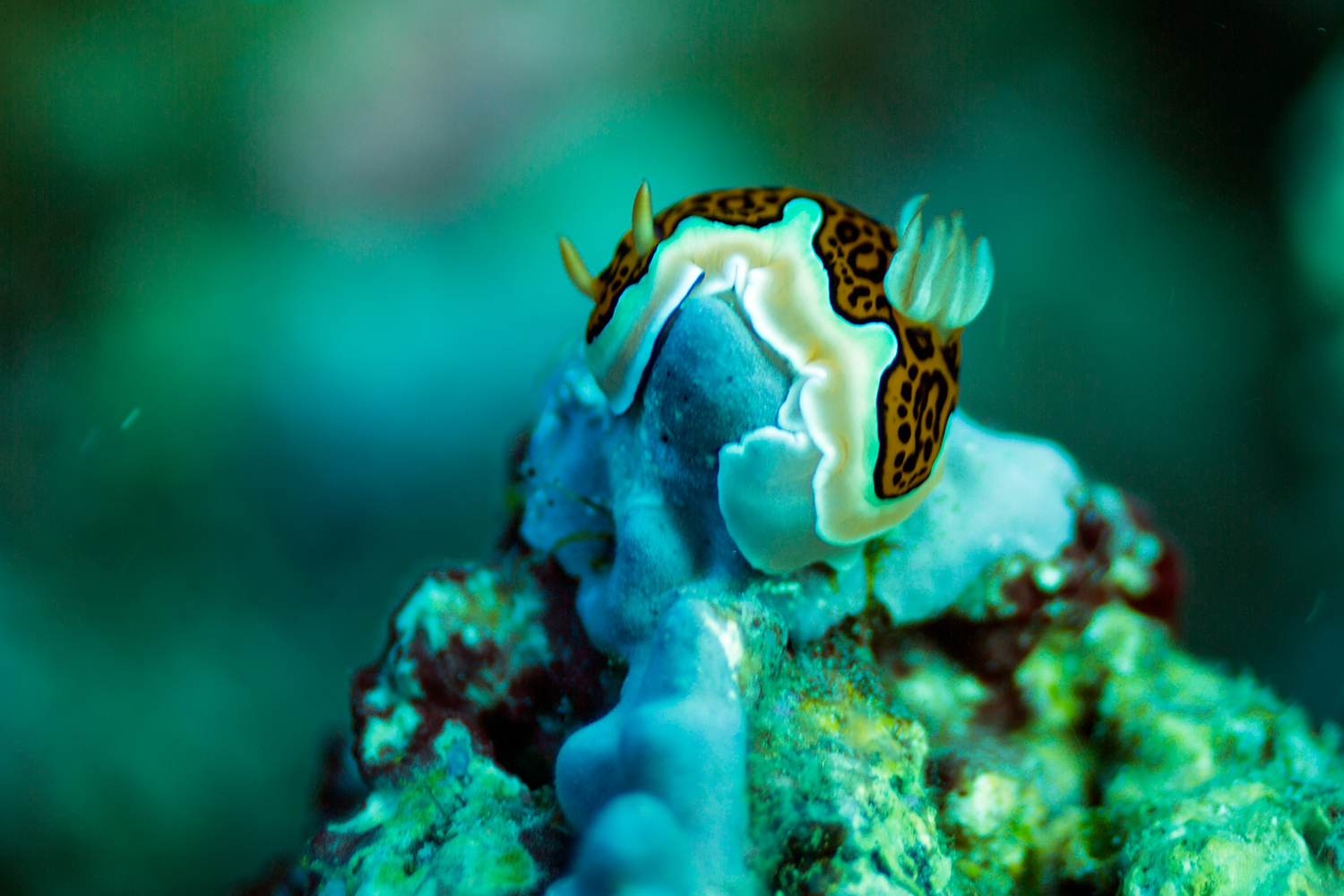A little nudi clinging for its life in the strong Maldivian currents.