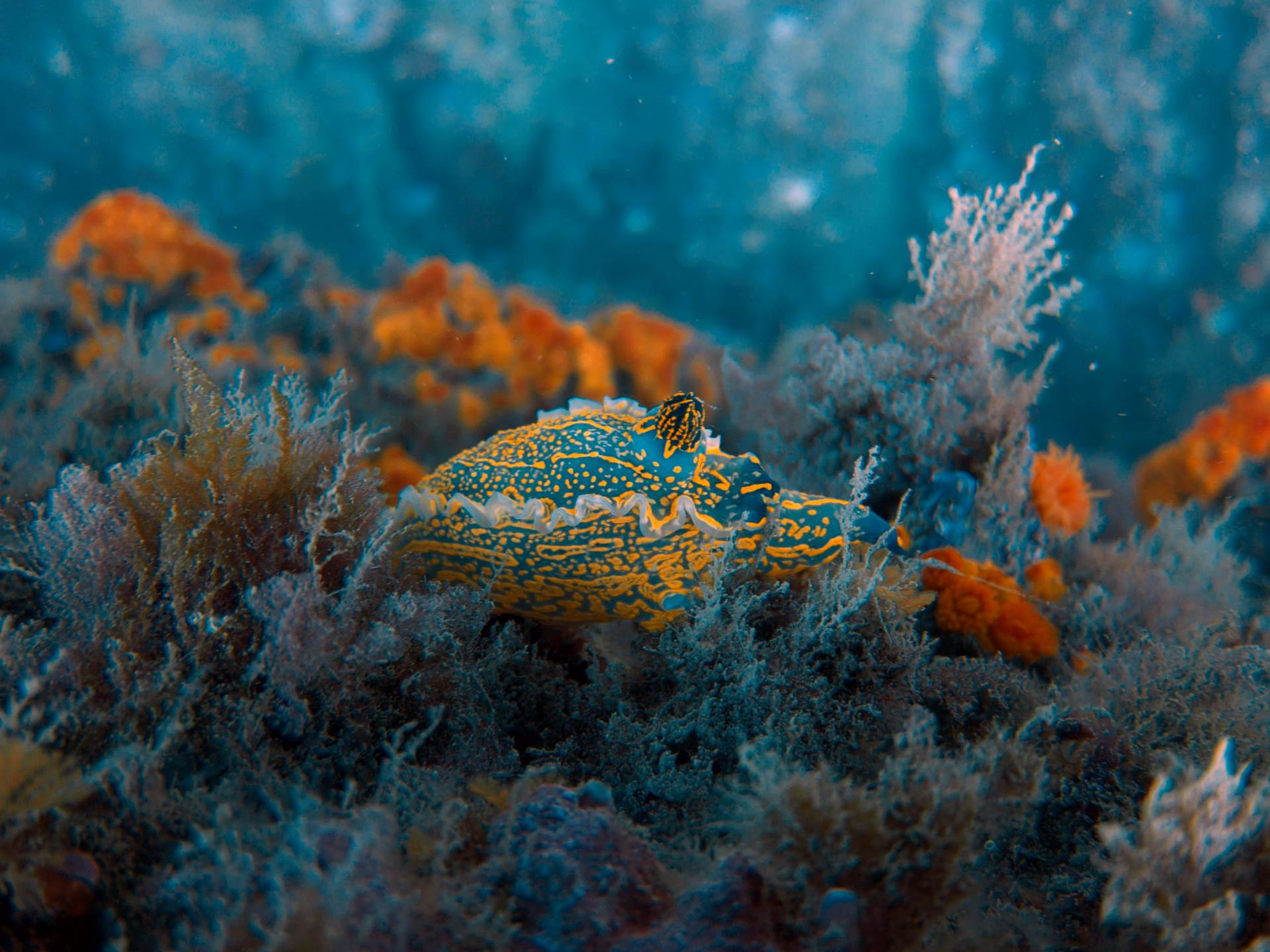 amazing nudibranch with orange coral in the back