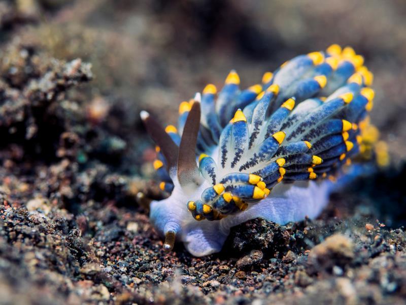 Nudibranch - Trinchesia yamasui