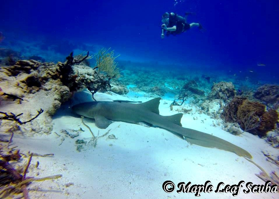 Do you like sharks?  The nurse shark is a docile shark. It moves slowly, sluggishly and hunts alone. It ingests the prey by sucking it from the water.  Come check us out and dive next a nurse sharks!  info@mapleleafscuba.com http://mapleleafscuba.com