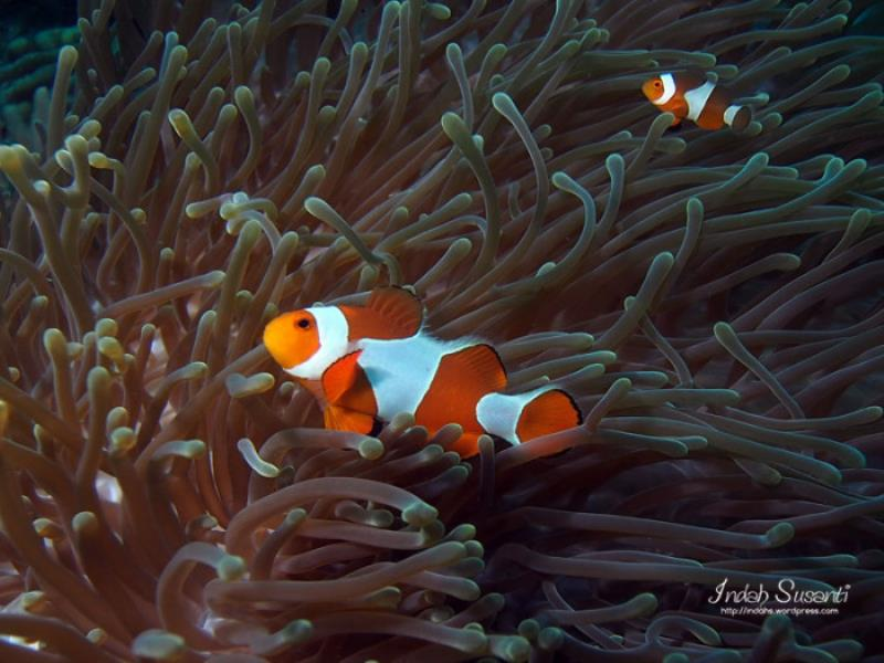 Clownfish nemo and marlin for Clown fish habitat
