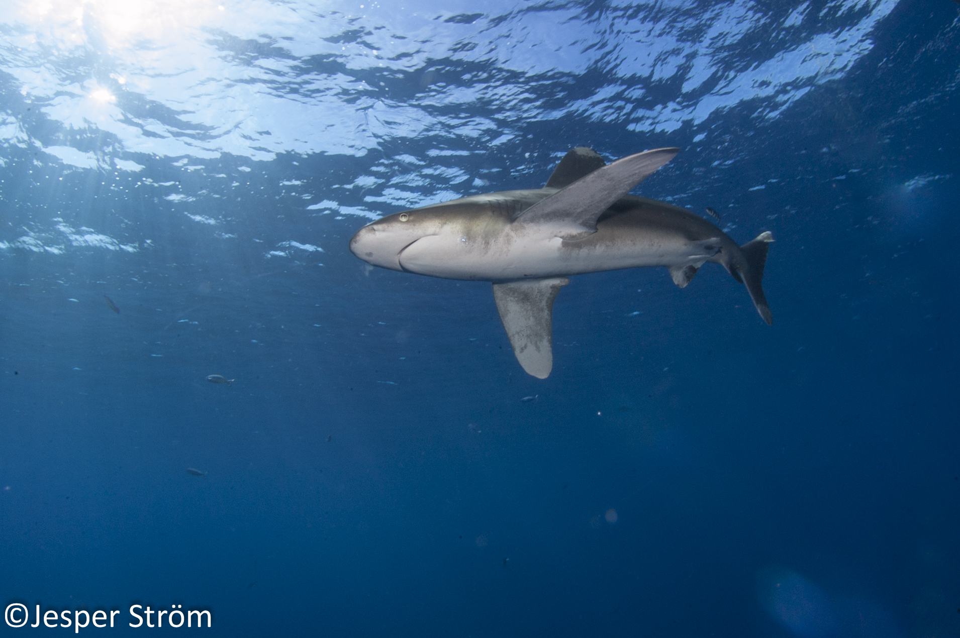 Just simply magnificent animals. There is really nothing like sharks!