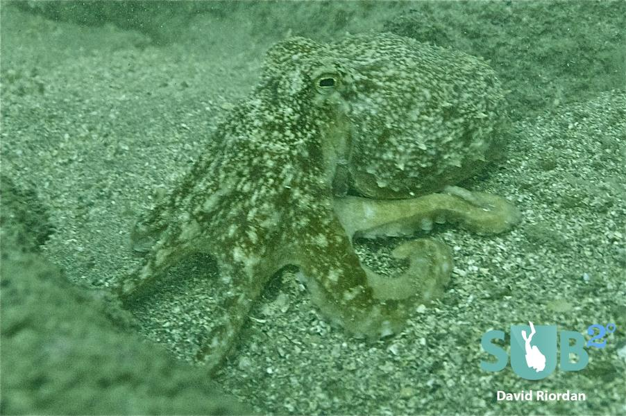 Octopus at Parkmore Point, Co. Kerry