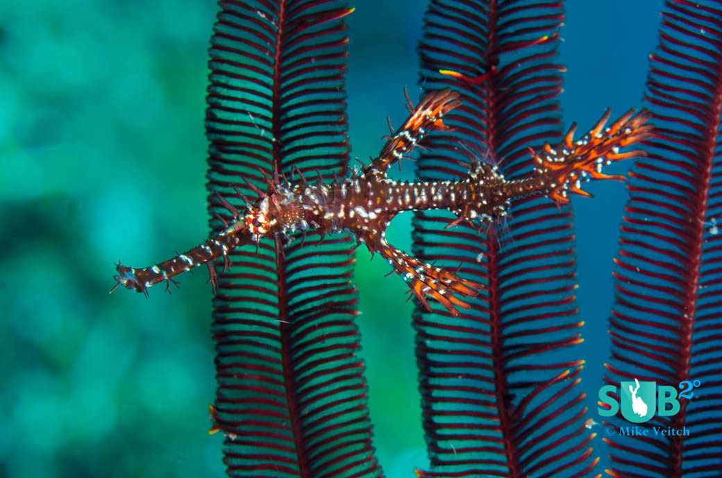 Ornate ghost pipefish like to hide among the arms of crinoids to avoid potential predators.