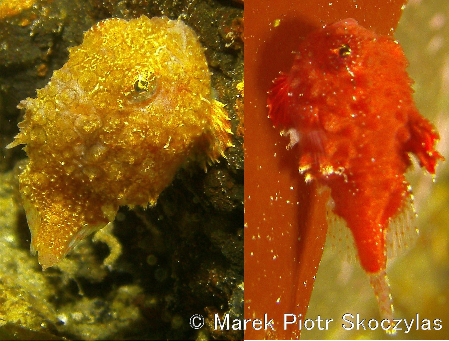 I recently started publishing on-line my over 44 thousand picture database of Puget Sound Critters organized by Species. The work has just begun. Flatfish & Rockfish part is completed plus some selected critters like Pacific Spiny Lumpsuckers (Little Cuties) and Puget Sound King Crabs. This work will continue at least for 1 year. Estimated completion Q1 2017. Here is the site: https://mareksk.smugmug.com/