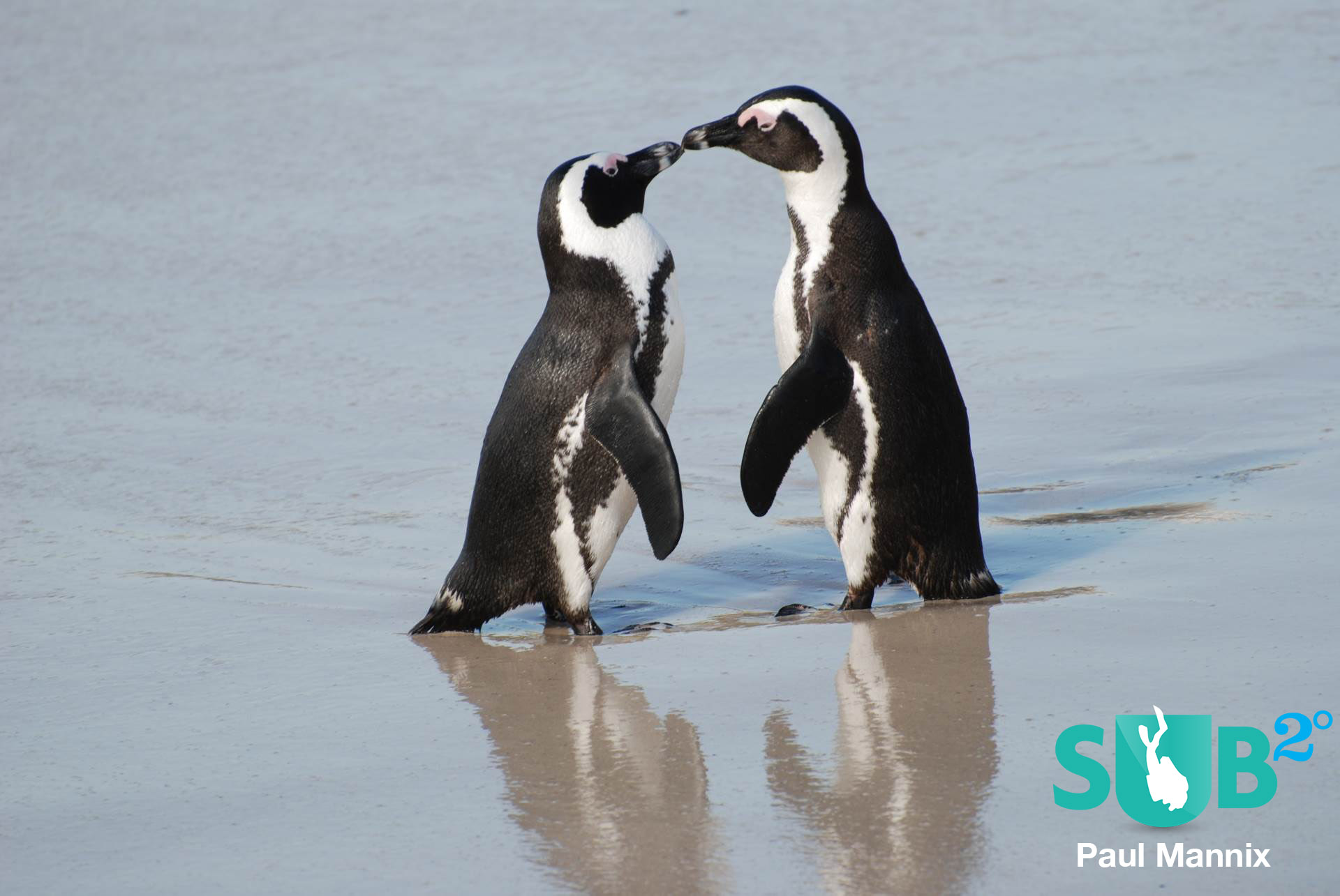 A pair of African penguins on the shoreline at Boulders Beach, South Africa