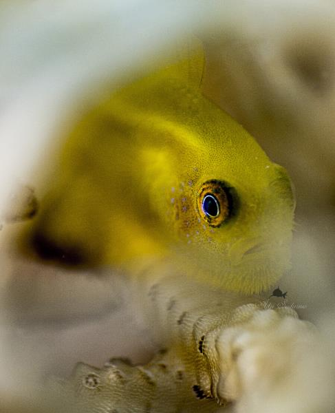 Paragobiodon Xanthosoma