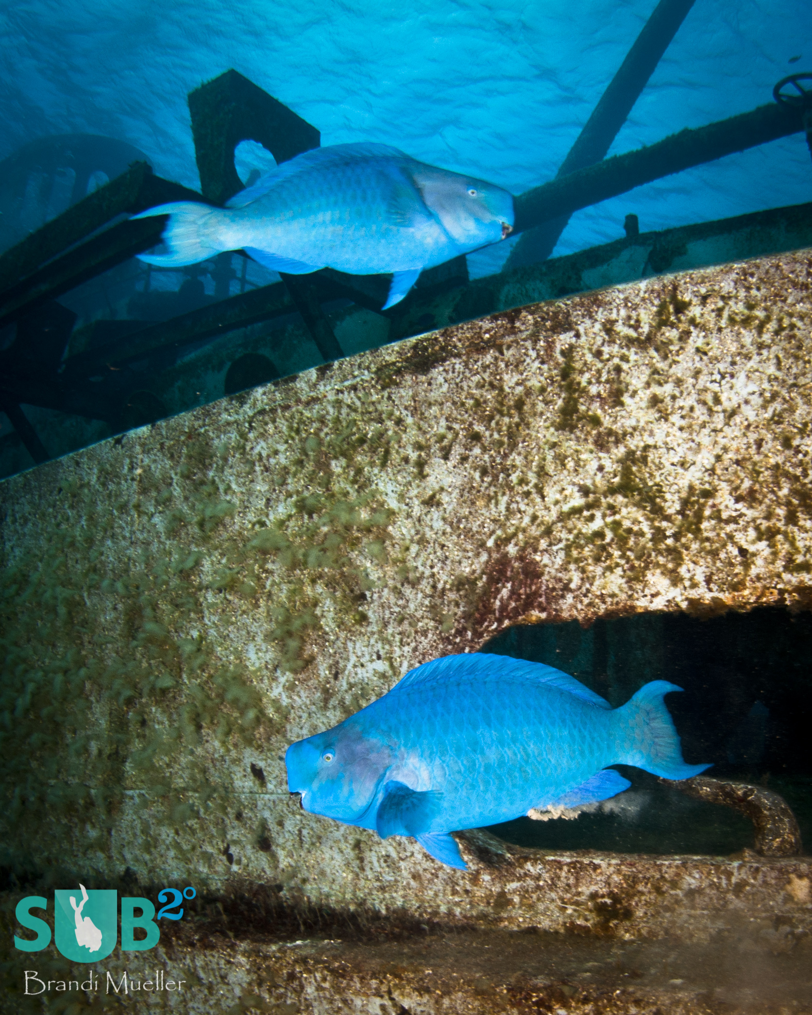 Two bright blue parrotfish cruise the deck of the USS Kittiwake, an artifically sunk wreck in the Cayman Islands.
