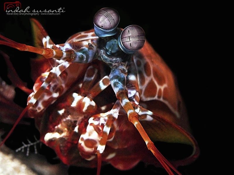 My article on Peacock Mantis Shrimp can be read here: http://indahs.com/2014/10/19/peacock-mantis-shrimp/