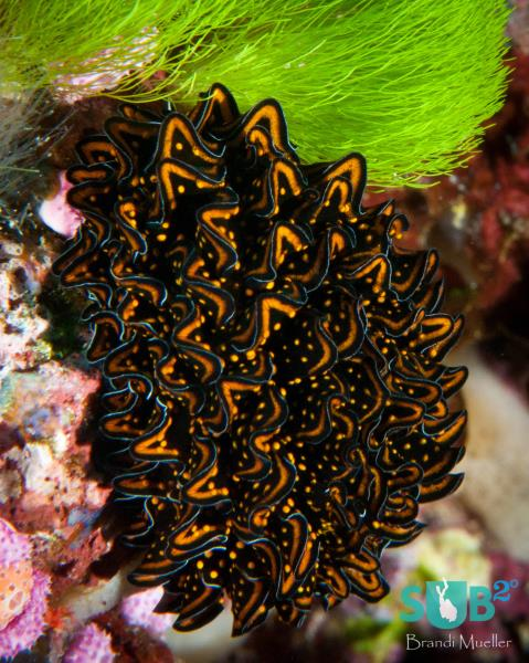 Peacock Nudibranch