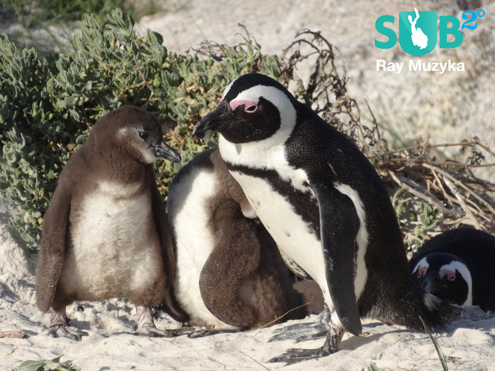 Penguin with two large chicks at nesting site in Boulders Beach, South Africa.