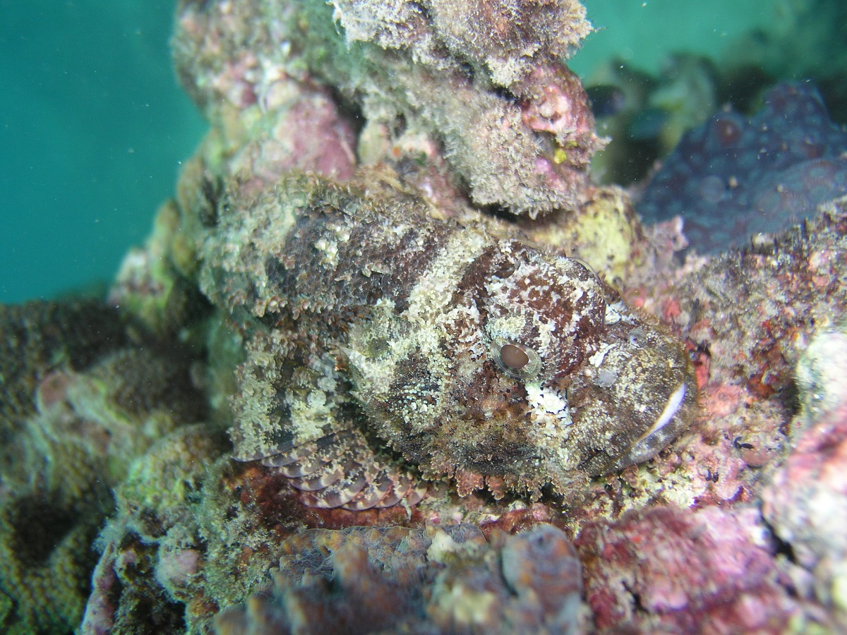 I can never tell the difference between a Stonefish or a Scorpionfish, but the tagging system makes me think this is a Bearded Scorpionfish because of it's beard. Can anyone help me identify this fish?