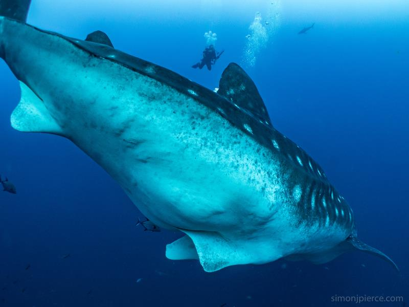 Pregnant Whale Shark in Galapagos