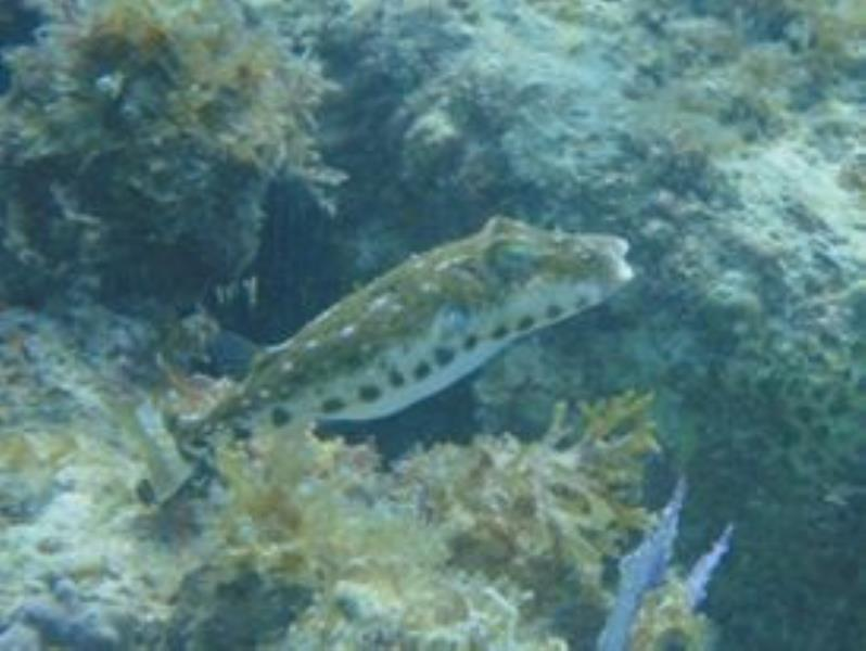 puffer at magallenes