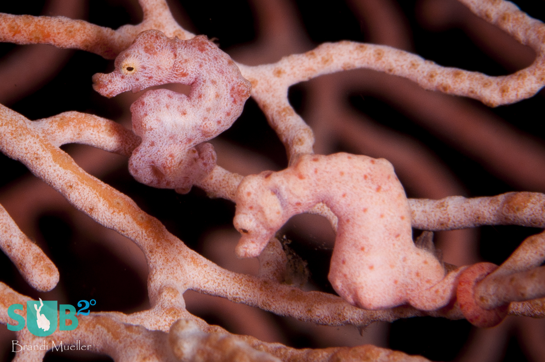 A pair of pygmy seahorses on a sea fan in Papua New Guinea.  It's thought that most seahorse species mate for life, or are at least monogamous for entire breeding seasons.
