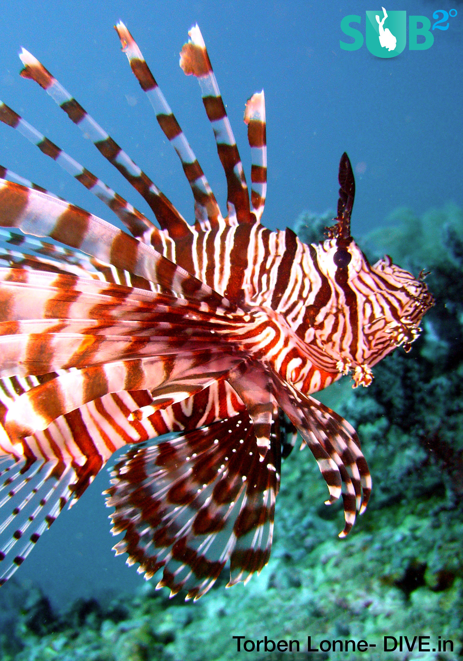 The red lionfish (Pterois volitans), one of the several species of lionfish, is considered to be the most common and the most famous representative of lionfish.