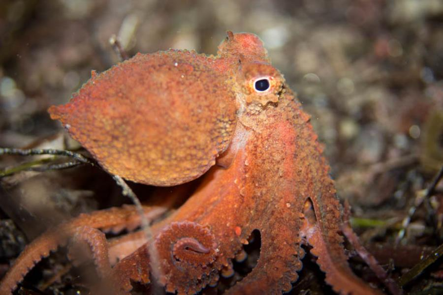 Red Octopus on the hunt