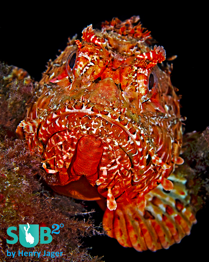 The red scorpionfish (Scorpaena scrofa) is common in the Mediterranean Sea around Minorca. This one lives in the south, at Cap d'en Font.