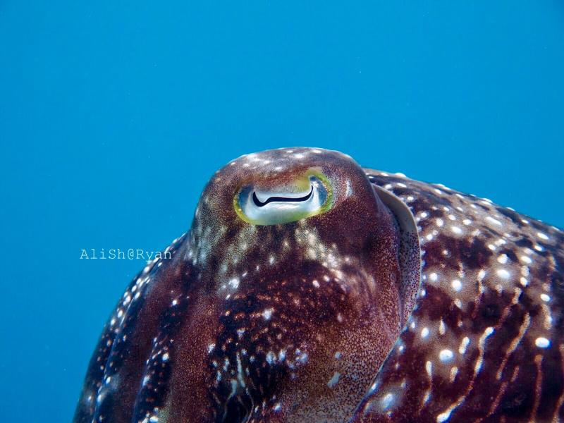 Reef cuttlefish