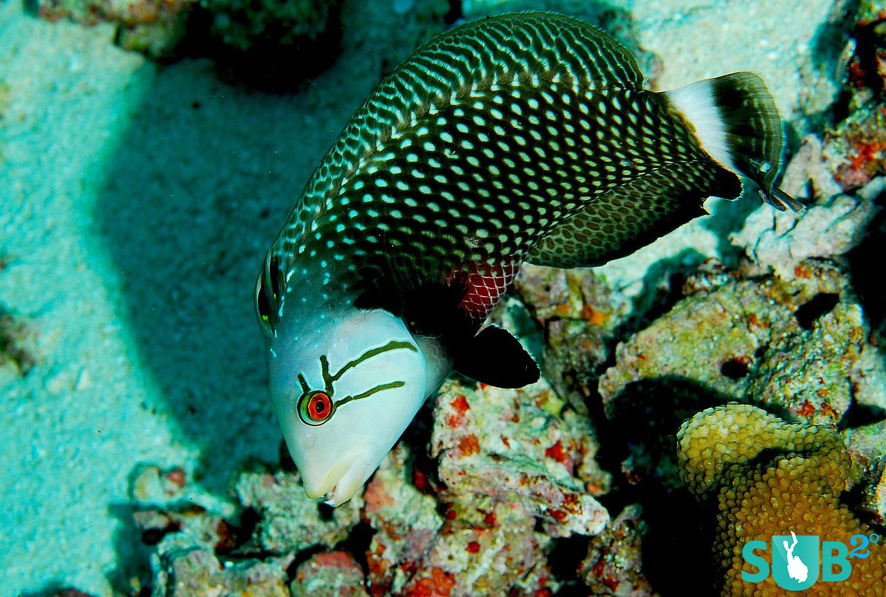 The beautiful markings of the Rockmover wrasse are not the most eye-catching quality, but its unique method for finding a meal and sexual fluidity.