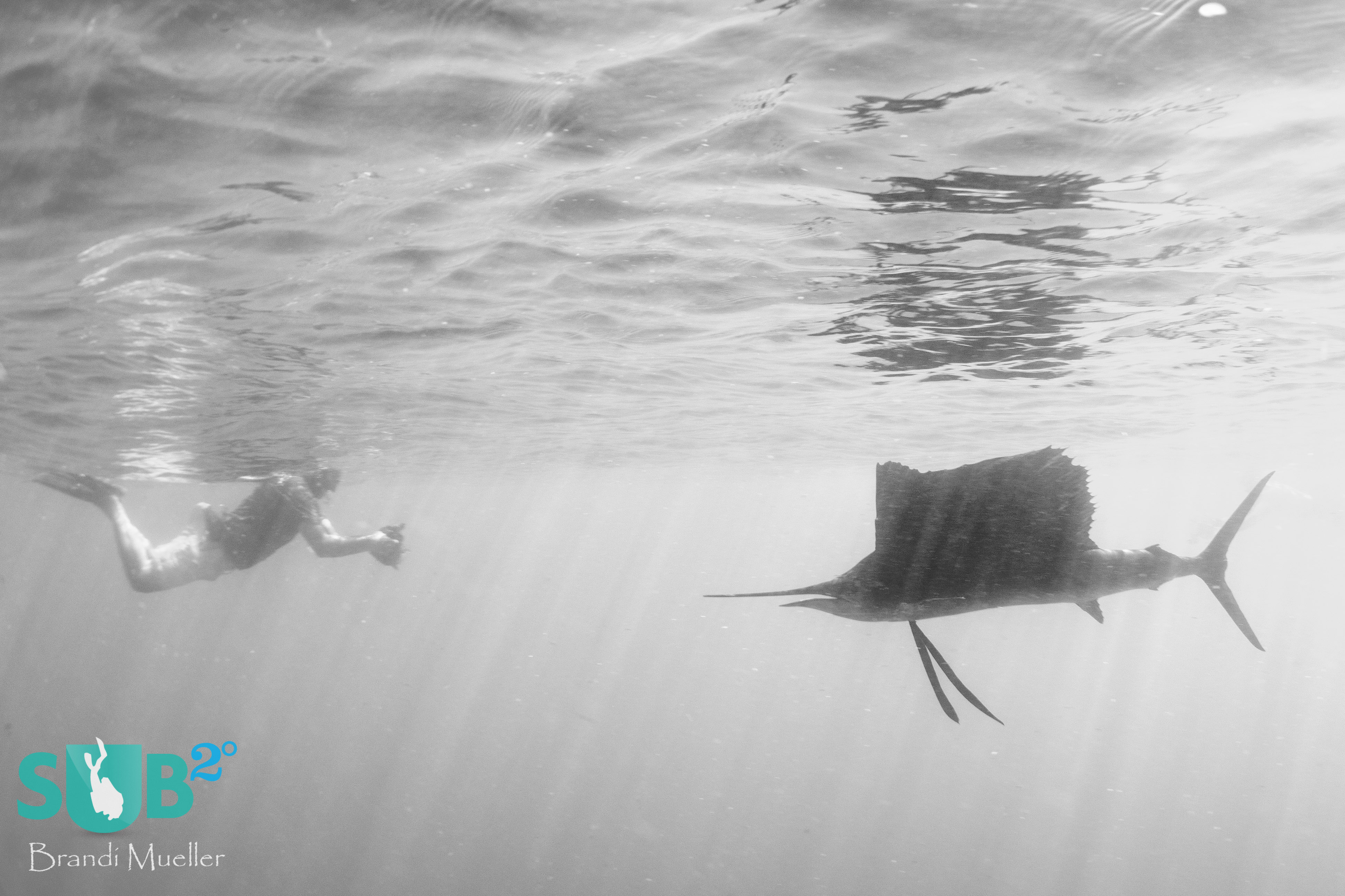 A sailfish, paying no attention to the snorkeler, continues to feed on sardines.