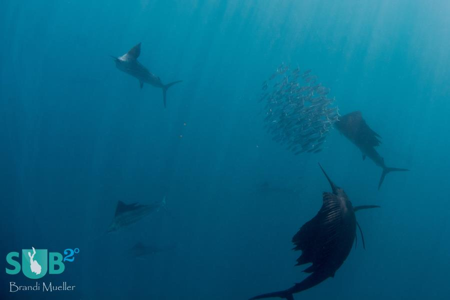 Sailfish Feasting on a Bait ball