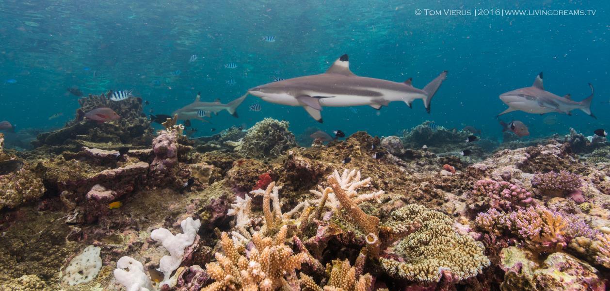 Schwarzspitzen Riffhaie und Korallenriff
