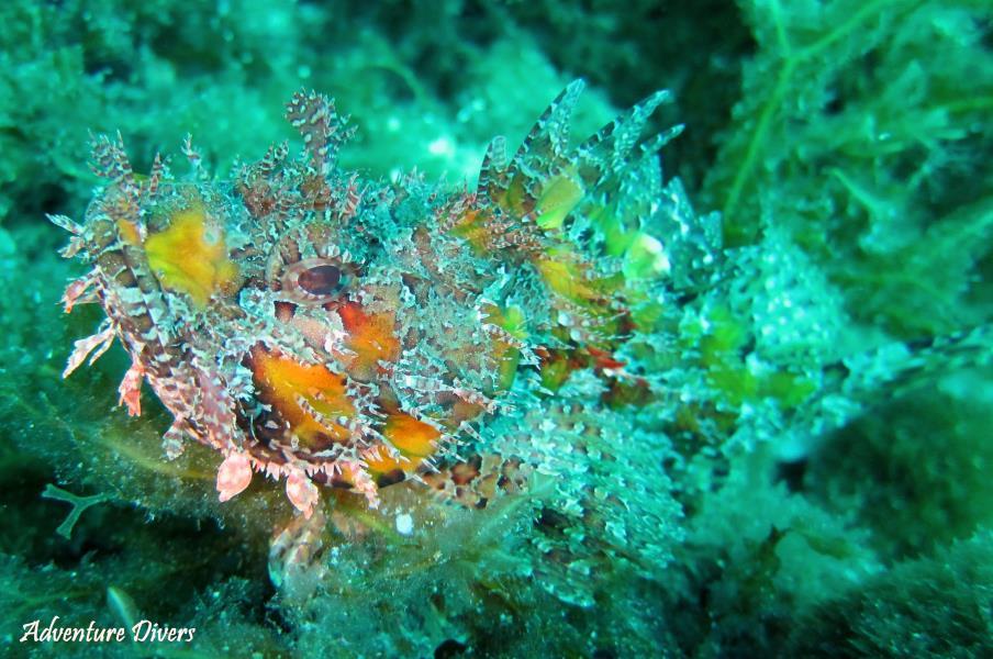 scorpion fish 2