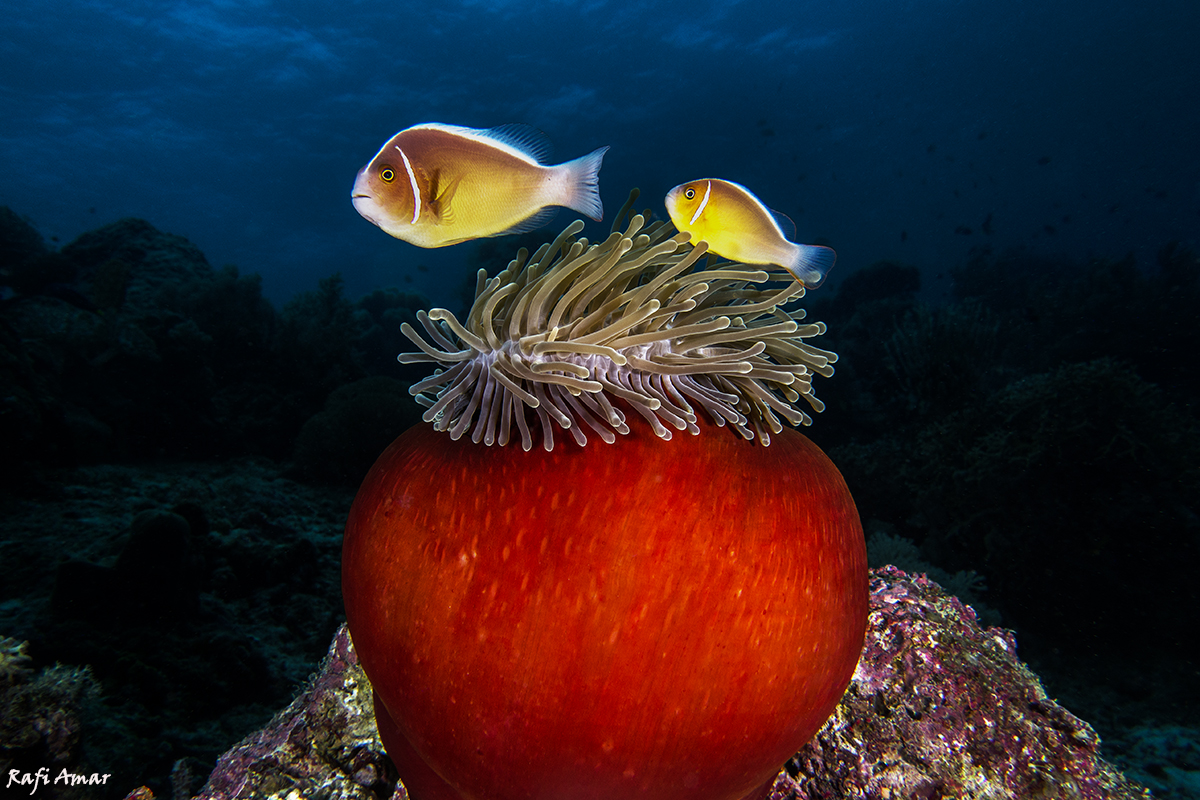 Sea anemone and clown