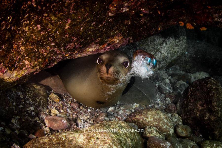 Sea Lion Attitude