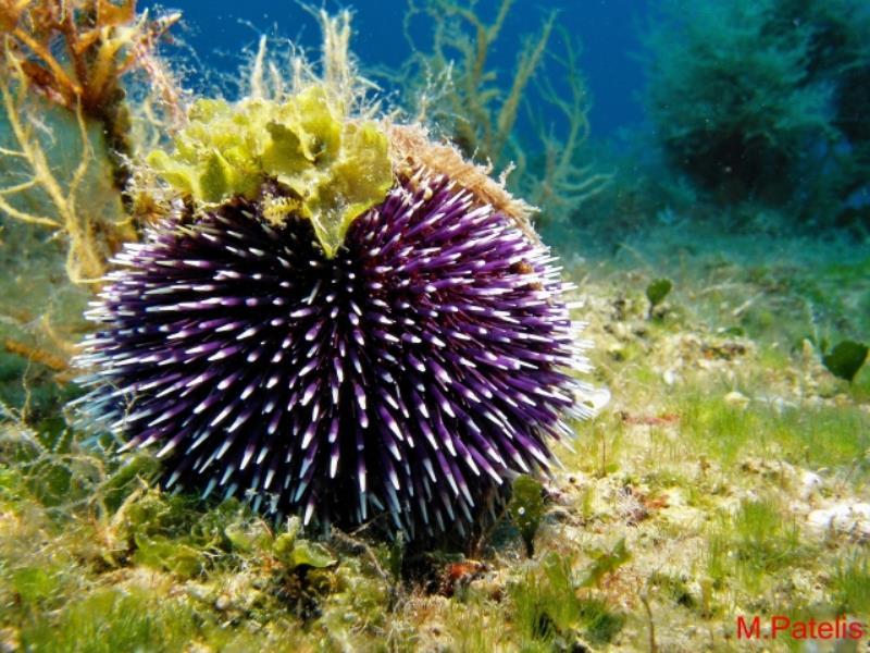 Sea urchin_01