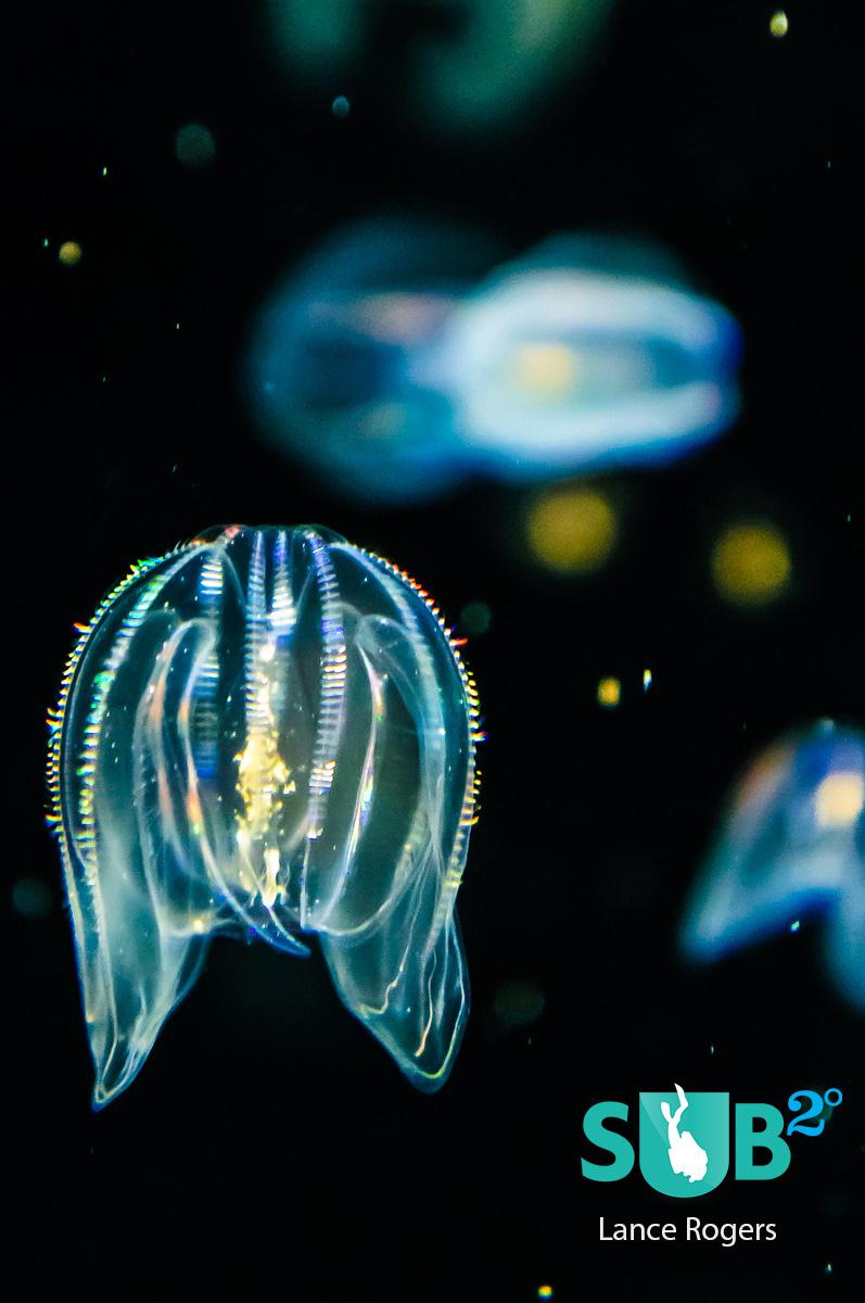 Sea Walnuts are part of a group called Comb Jellies, which aren't actually jellyfish.