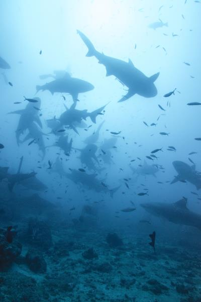 Shark Aggregation