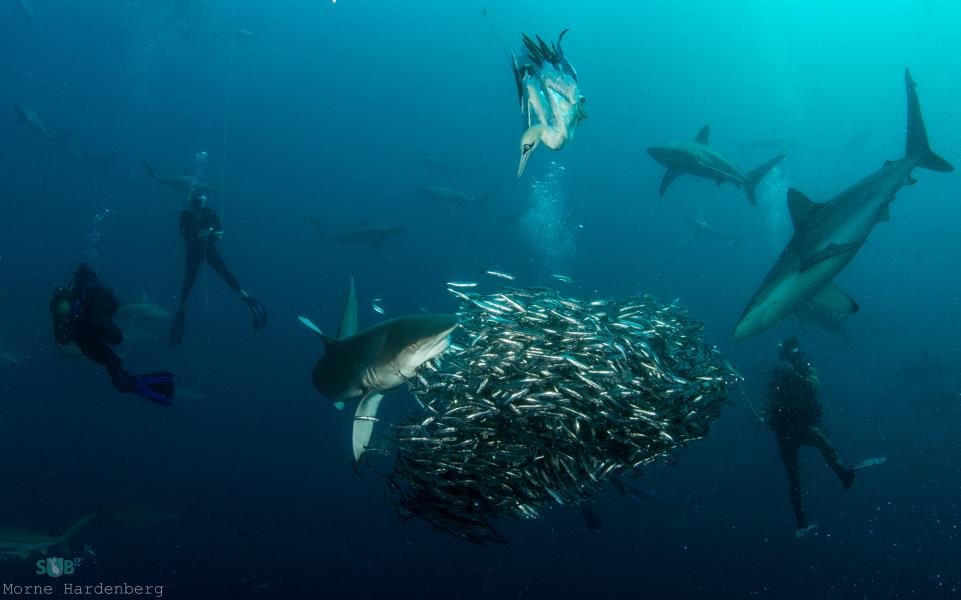 Shark Feasting on Bait Ball
