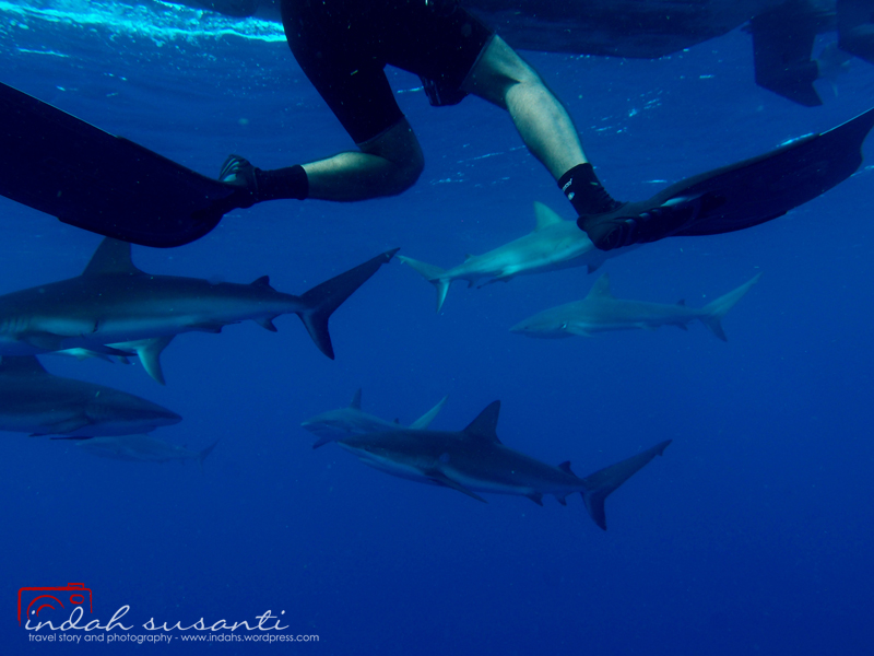 Sharks Diving Jardines de la Reinamedia...