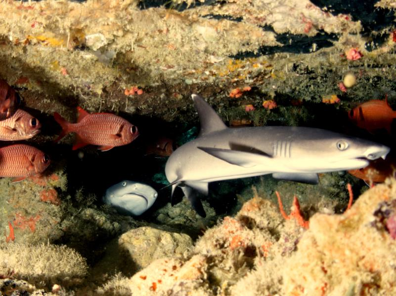 #shark_whitetip