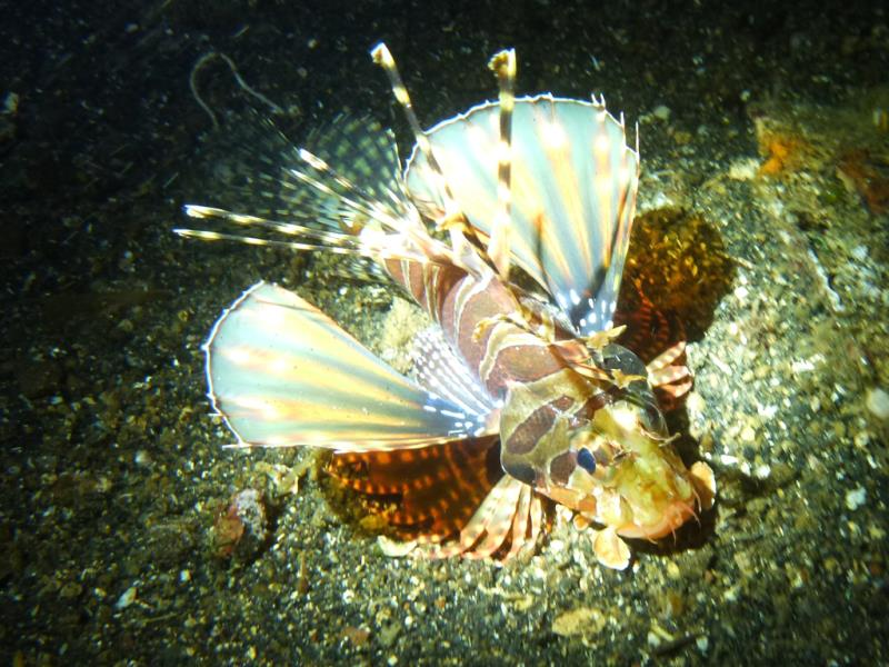 shortfin_lionfish01